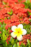 Loss Leelawadee on red flower. Khem daeng flower can grow any where in Thailand Stock Photography
