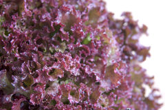 Losso Rollo Lettuce Royalty Free Stock Images