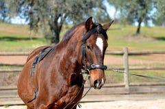 Losstürzen eines Pferds Stockfoto