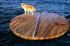 Lost. Dog on wood boart in Red sea Eilat Stock Photography
