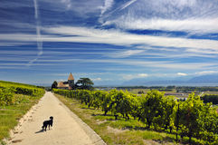Lost?. A small dog stands on a road through Swiss vineyards with a church in the distance Royalty Free Stock Image