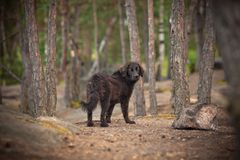 Lost A Homeless Dog In The Woods Stock Image