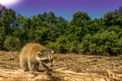 A Lost Baby Raccoon. A baby Raccoon searching for his family after the forest was cut down Royalty Free Stock Image