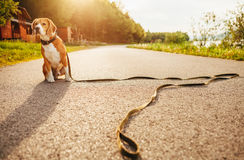 Lost beagle dog sits alone on the road Royalty Free Stock Images