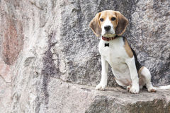 Lost beagle Stock Images