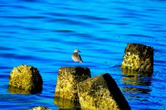 Lost Bird. Migrant bird lost in a coast of Varaadero beach Cuba Royalty Free Stock Photography