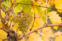 The lost bunch. Last bunch of grapes on the autumn vineyard Royalty Free Stock Photography