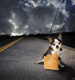 Lost dog. A small chihuahua dog on an asphalt road with a blank cardboard sign. Concept for lost or discarded dogs