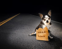 Lost dog. A small chihuahua dog on an asphalt road with a cardboard sign need home. Concept for lost or discarded dogs