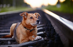 The lost dog lies on rails. Royalty Free Stock Images
