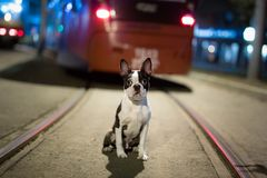 Lost dog at night on the street. Boston Terrier stock images