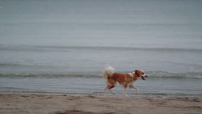 Lost Dog Running at Beach stock footage