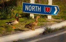 Lost Ducks Stock Photos