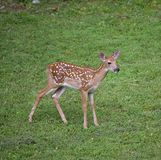 Lost fawn Royalty Free Stock Photography