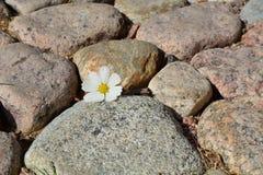 Cosmos flower on stones Stock Photos