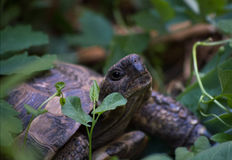 Lost in the green. A lost turtle strolling though the garden Stock Image