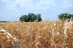 Lost Harvest. An field of dead and diseased corn in a cornfield suffering from blight and drought in Texas Royalty Free Stock Photos