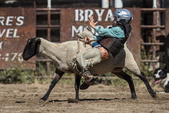 Lost his Grip. Mutton busting event at the Scott Valley Pleasure Park Rodeo in Etna, California stock image