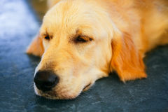 Lost Homeless Hungry Golden Labrador Retriever Dog ​​Sleepin Royalty Free Stock Photography