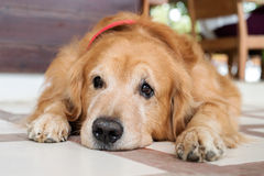 Lost Homeless Hungry Golden Labrador Retriever Dog Sleeping On C. Old Floor Stock Images