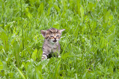 Lost kitten Royalty Free Stock Image