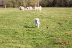 Lost lamb Royalty Free Stock Photo