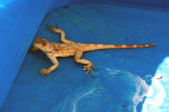 Lost lizard. In a swimming pool Stock Images
