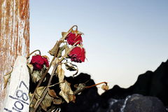 Lost love. Dried and faded roses testify to a great loss Royalty Free Stock Image