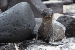 Lost sea lion pup Stock Photo