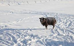 Lost sheep royalty free stock photo