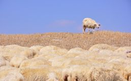 Lost sheep Royalty Free Stock Photography