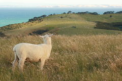 Lost sheep looking back. Picture of lost sheep looking back Royalty Free Stock Photo