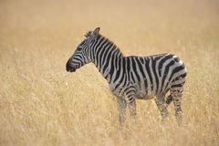 Lost Zebra. A lone zebra wandering in the wild African grassland Royalty Free Stock Image