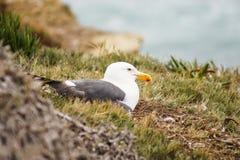 Losu Angeles Jolla zatoczki Seagull Zdjęcie Stock
