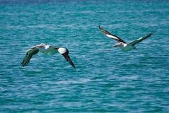 lotów pelikany Obrazy Royalty Free
