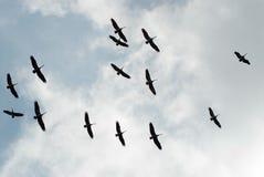 lotów pelikany Zdjęcia Stock