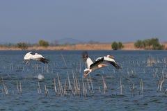 lotów pelikany Fotografia Royalty Free