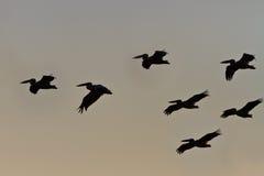 lotów pelikany Fotografia Stock