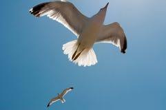 lotów seagulls dwa Fotografia Stock