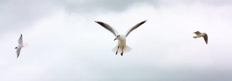 lotów seaguls trzy Zdjęcia Royalty Free