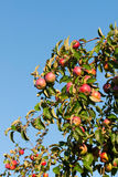 Lot Äpfel auf Apfelbaumzweig lizenzfreie stockfotos