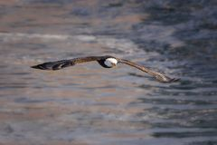lot łysego orła Zdjęcie Stock