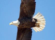 lot łysego orła fotografia royalty free