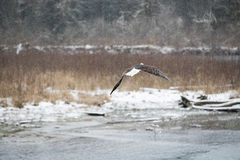 lot łysego orła Obraz Stock