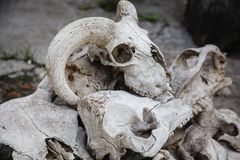 A lot of animal skulls. On top of the sheep`s skull. A lot of animal skulls on the cracked stone ground. On top of the sheep`s skull stock images