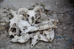 A lot of animal skulls. On top of the sheep`s skull. A lot of animal skulls on the cracked stone ground. On top of the sheep`s skull stock photo