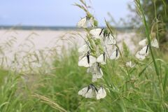 A lot of Aporia crataegi butterfly, black veined white, sitting on green grass on river bank in summer