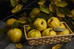 A lot of apple quince  on dark wooden background. top view. A lot of apple quince  on dark wooden background Royalty Free Stock Images