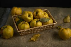 A lot of apple quince  on rustic background. top view. A lot of apple quince  on dark wooden background Royalty Free Stock Images