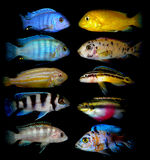Lot of aquarium fishes from cichlidae family Stock Photography